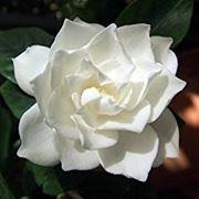 Fiori Gialli Gardenia.Gardenia Con Foglie Gialle Quali Cause Giardino Gardenia Con