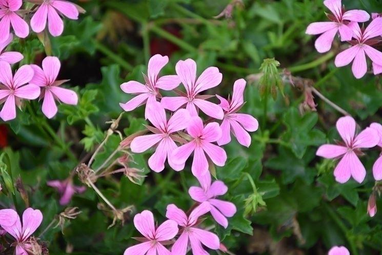 Gerani a foglia colorata giardino gerani a foglia colorata for Talea geranio