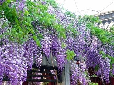 Glicine in vaso potature giardino glicine in vaso potature for Glicine bonsai prezzo