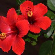 Hibiscus rosa sinensis: coltivazione.