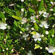 Il mirto come pianta aromatica