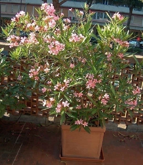 Oleandro giardino oleandro - Azalea pianta da interno o esterno ...