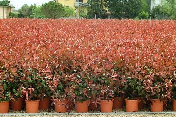 Potatura della siepe di photinia giardino potatura for Potatura piante da giardino