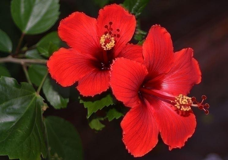 Famiglia delle malvaceae, l'ibiscus