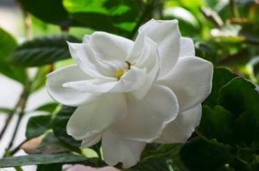 Risposta : Gardenia ingiallita