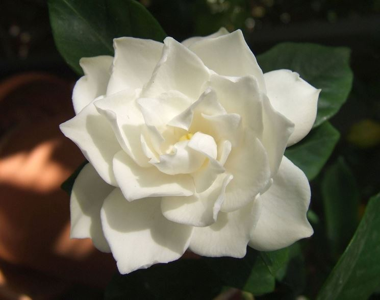 Struttura della gardenia