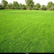 Risposta: le piante del tappeto erboso