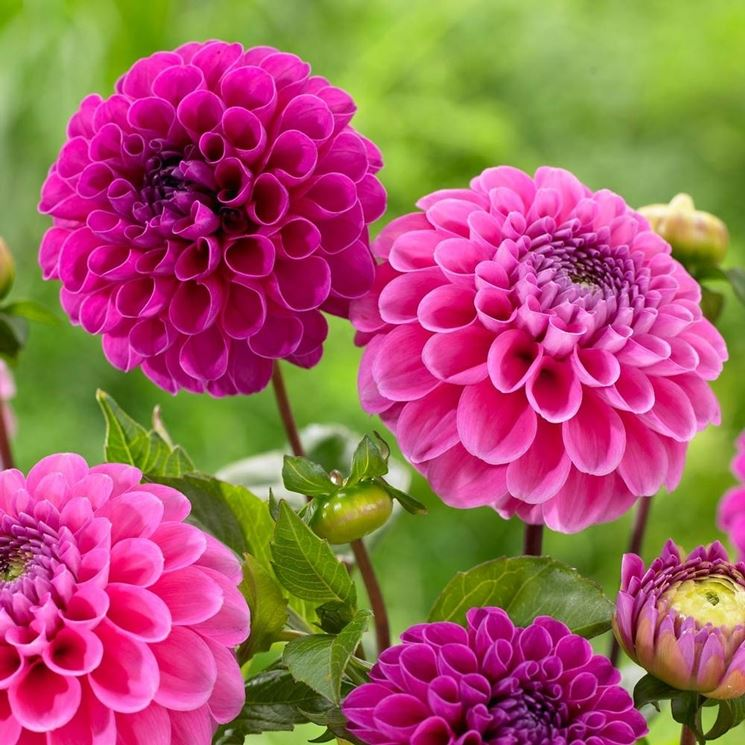 Significato dalia giardino significato dalia - Dalia pianta ...
