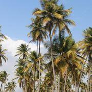 Varietà di palma