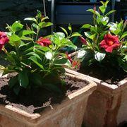 Come coltivare e curare correttamente la dipladenia