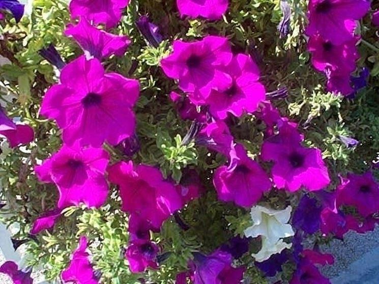 Fiori di surfinia piante annuali surfinia 7 for Piante annuali