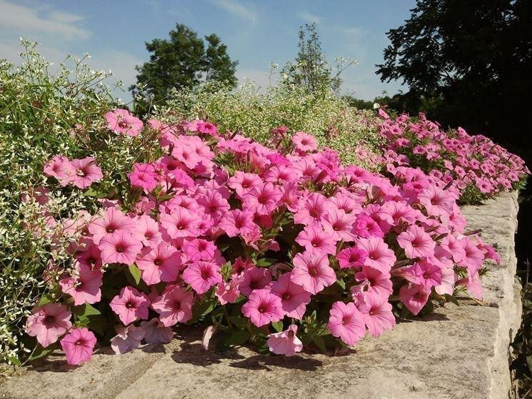 La bellezza dei fiori della petunia