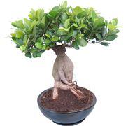 Domanda : bonsai ficus ginseng perde foglie