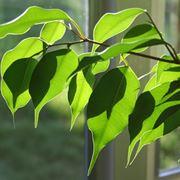 Ficus con foglie gialle