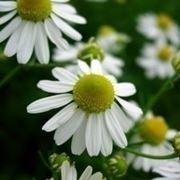 Fiore di camomilla